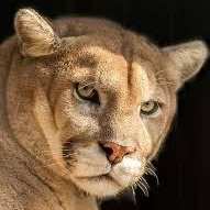 cropped-55bb6-cougar